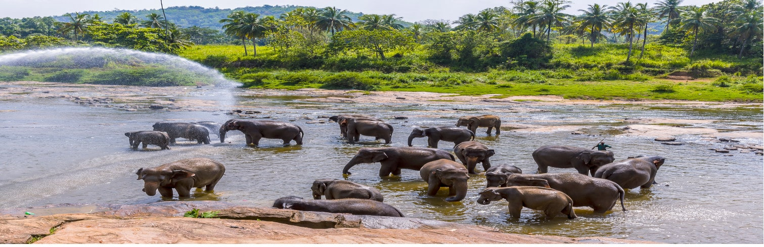 Pinnawela elephants-min